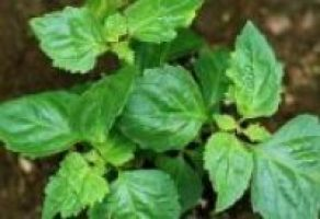 What are the Benefits of Patchouli Oil?